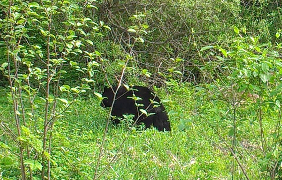 Black bear contentedly eating greens at the side of the road